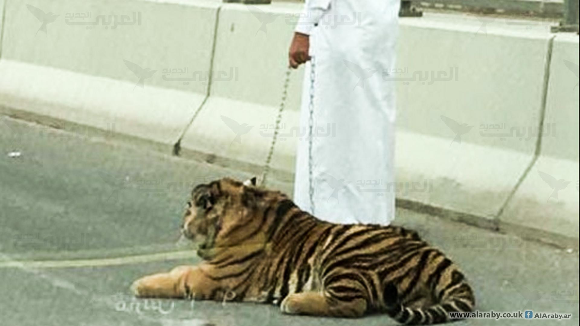 اقتناء الحيوانات المفترسة في قطر نمر في شوارعنا