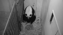 بث مباشر لولادة باندا بحديقة الحيوانات في واشنطن (تويتر)