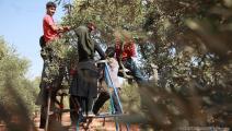 موسم قطف الزيتون يجمع العائلة (العربي الجديد)