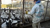 مزرعة بط في فرنسا (ريمي غبالدا/ Getty)
