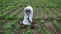 يفلح أرضه في ولاية الجزيرة السودانية (أشرف الشاذلي/ فرانس برس)
