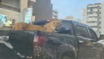 لبؤة تطوف شوارع طرابلس الليبية على ظهر سيارة- الأناضول