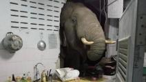 فيل يقتحم مطبخاً في تايلند/يوتيوب