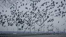 سرب من الغربان في روسيا (ميخائيل مورداسوف/ فرانس برس)