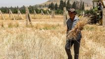 القمح في سورية/ فرانس برس