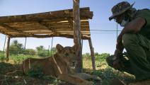 أسود في مركز خاص في السودان (محمود حجاج/ الأناضول)