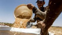 تراجع كبير في موسم القمح هذا العام (لؤي بشارة/ فرانس برس)