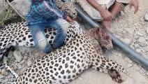 النمر العربي النادرخطر الانقراض في اليمن