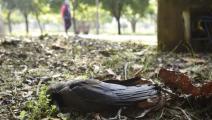 طائر صغير نافق في الهند (بارفين كومار/ Getty)