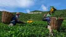 مزارعون وحقول شاي في ماليزيا (محمد رصفان/ فرانس برس)