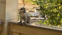 قرود هاربة في حدائق الأهرام - مصر - تويتر