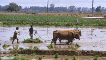 مزرعة قمح في مصر (Getty)