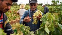 زراعة العنب في المغرب/ فرانس برس