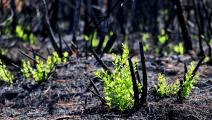 نمت بعض النباتات بعد القضاء على الحرائق (مظفر كاغليانير/ الأناضول)