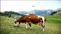 ابقار سويسرا