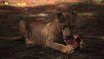 الأسود حيوانات مهدّدة بالانقراض في كينيا