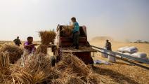 حصاد القمح في مصر(الأناضول)