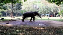 فيلة بنغلادش (نورفوتو/Getty)