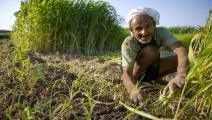 مصر/اقتصاد/زراعة في مصر/07-01-2016 (Getty)