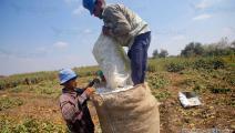 بدء موسم حصاد القطن في مصر