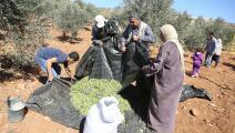 """""""العونة"""".. تكافل فلسطيني يتجلى مع قطف الزيتون"""