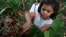 طفلة تقطف حبوب البن في هندوراس - مجتمع