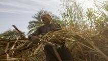 زراعة قصب السكر في مصر/ Getty