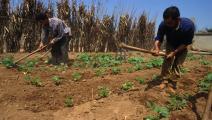 القمح في الجزائر (Getty)