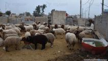 المواشي في العراق