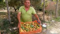 التين الشوكي في تونس 1/مجتمع (العربي الجديد)