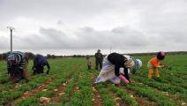 سورية-زراعة سورية-الزراعة السورية-06-12-فرانس برس