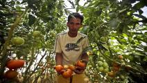 فلسطين/اقتصاد/زراعة غزة/19-08-2015 (الأناضول)