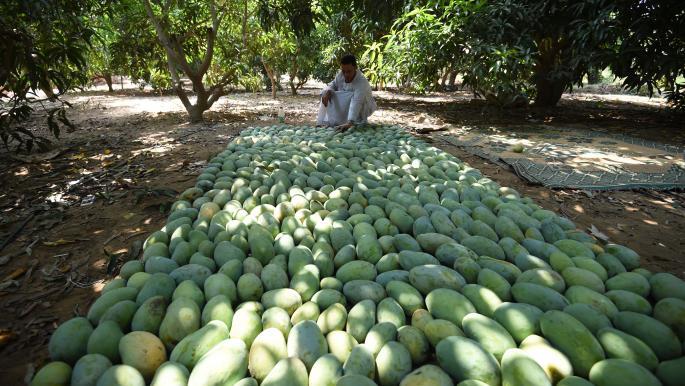 مصر: ارتفاع أسعار المانغو مع تقليص موجة الحر إنتاجه