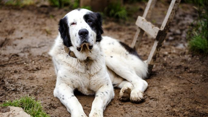 عطلة وطنية في تركمانستان تكريماً لسلالة محلية من الكلاب