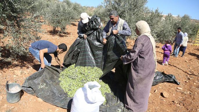 """""""أوتشا"""": الاحتلال استهدف ألف شجرة زيتون وأصاب 23 مزارعاً فلسطينياً"""